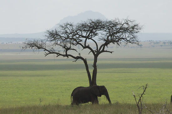 Africa-Green-Tanzania-African-Elephant-Elephant-511245