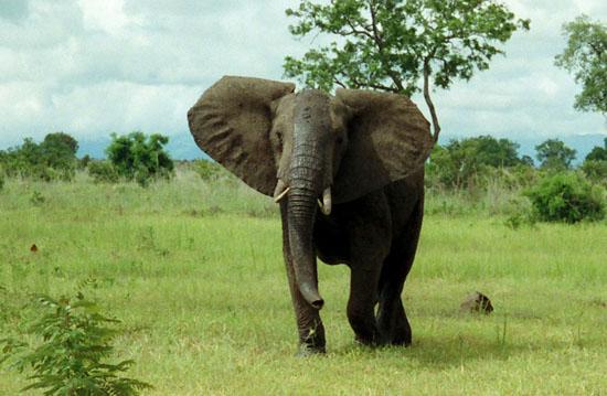 African_Bush_Elephant_Mikumi