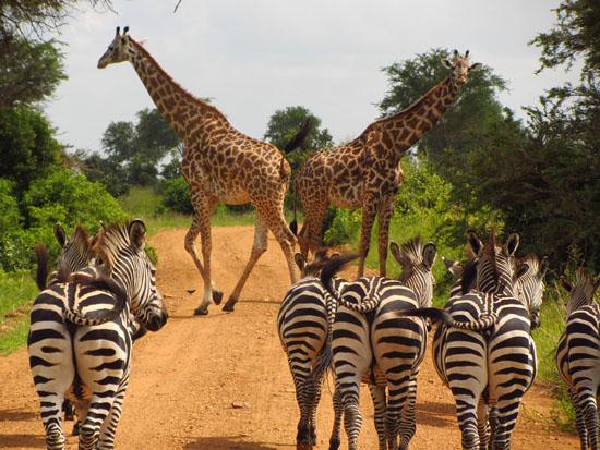 zebras-765885_960_720