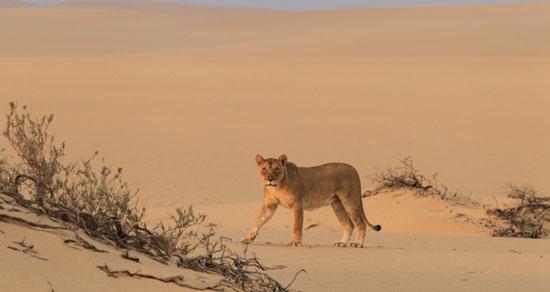 slider_hoanib-skeleton-coast-camp-lioness