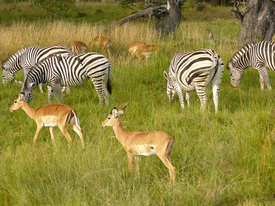 Zebras_chobe_national_park