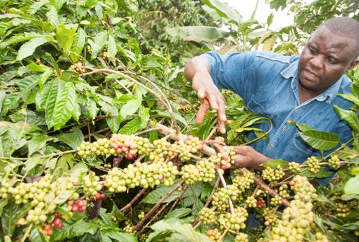 About Ugandan coffee and NUCAFE 1